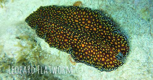 Leopard Flatworm St John snorkeling